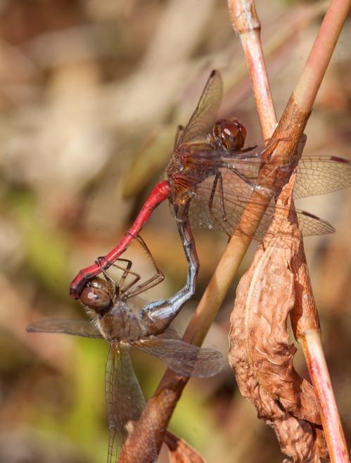 Autumn Meadowhawk mating