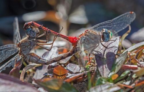 Blue-faced Meadowawk mating