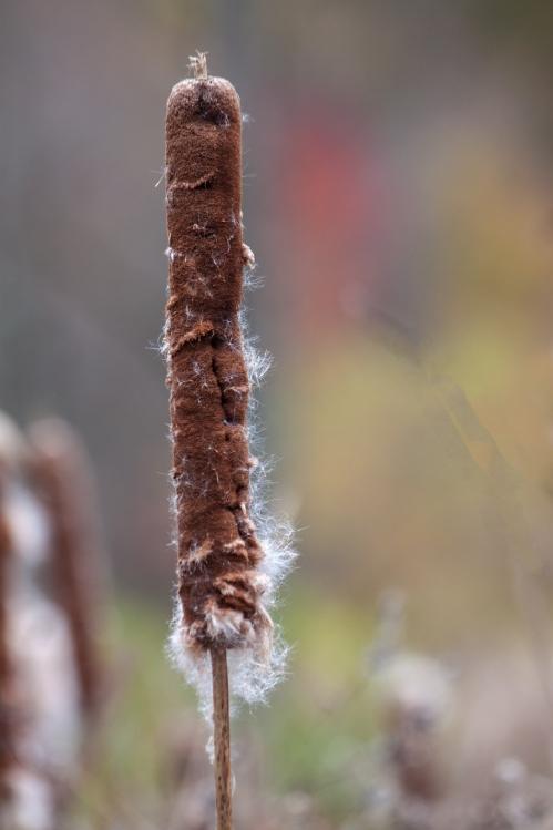 autumn cattail