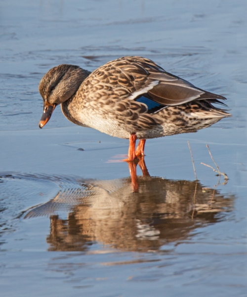 duck_reflect_blog