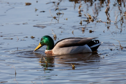 mallard-male_nov_blog