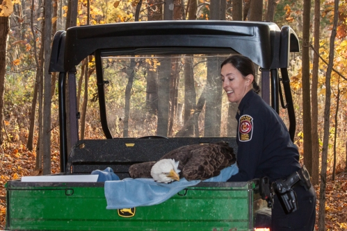 Bald Eagle rescue