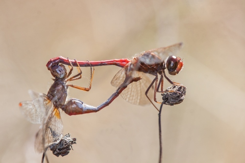 Autumn Meadowhawks mating