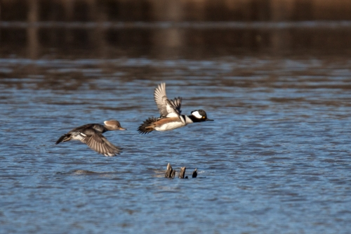Hooded Merganser takeoff