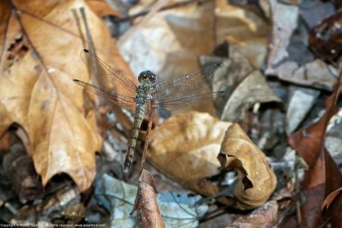 Blue-faced Meadowhawk dragonfly (heteromorph female)