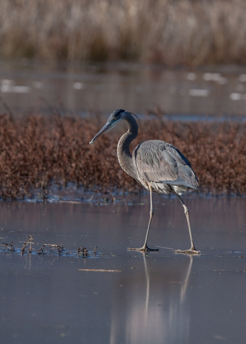 heron1_ice_blog