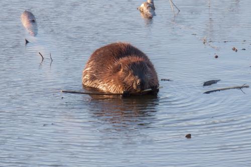 beaver2_march_blog