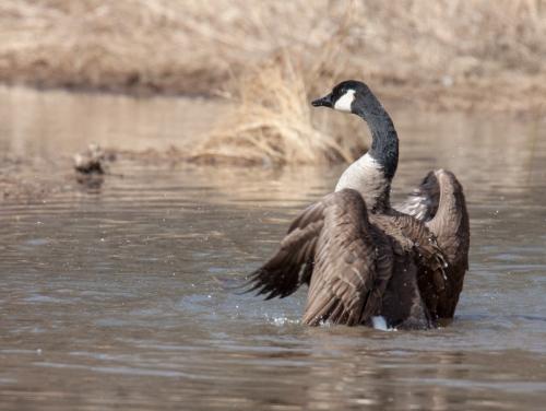 Canada Goose bath