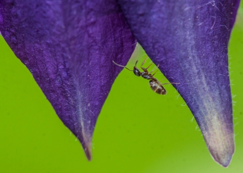 alpine ant