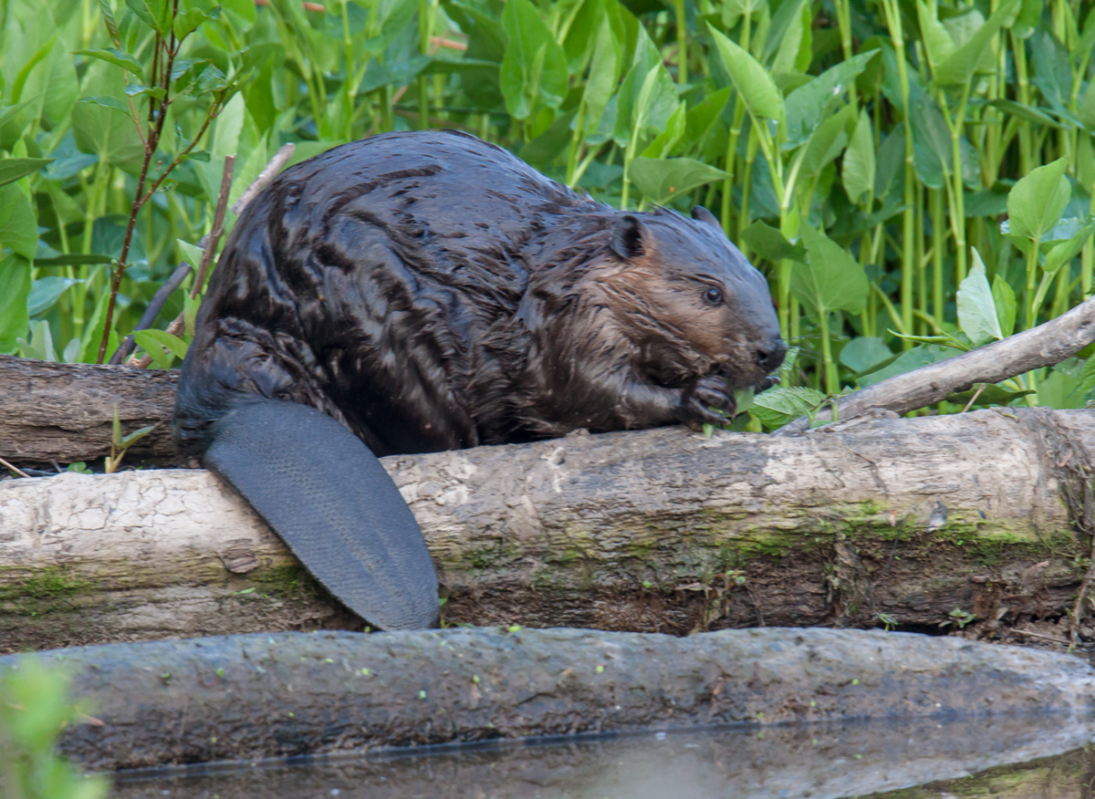 north american beaver essay Castor canadensis, commonly known as the north american beaver, is a species  with an interesting history beginning in the late 1600s and continuing into the.
