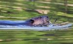 beaver2_eat_blog