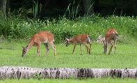 deer3_june_blog