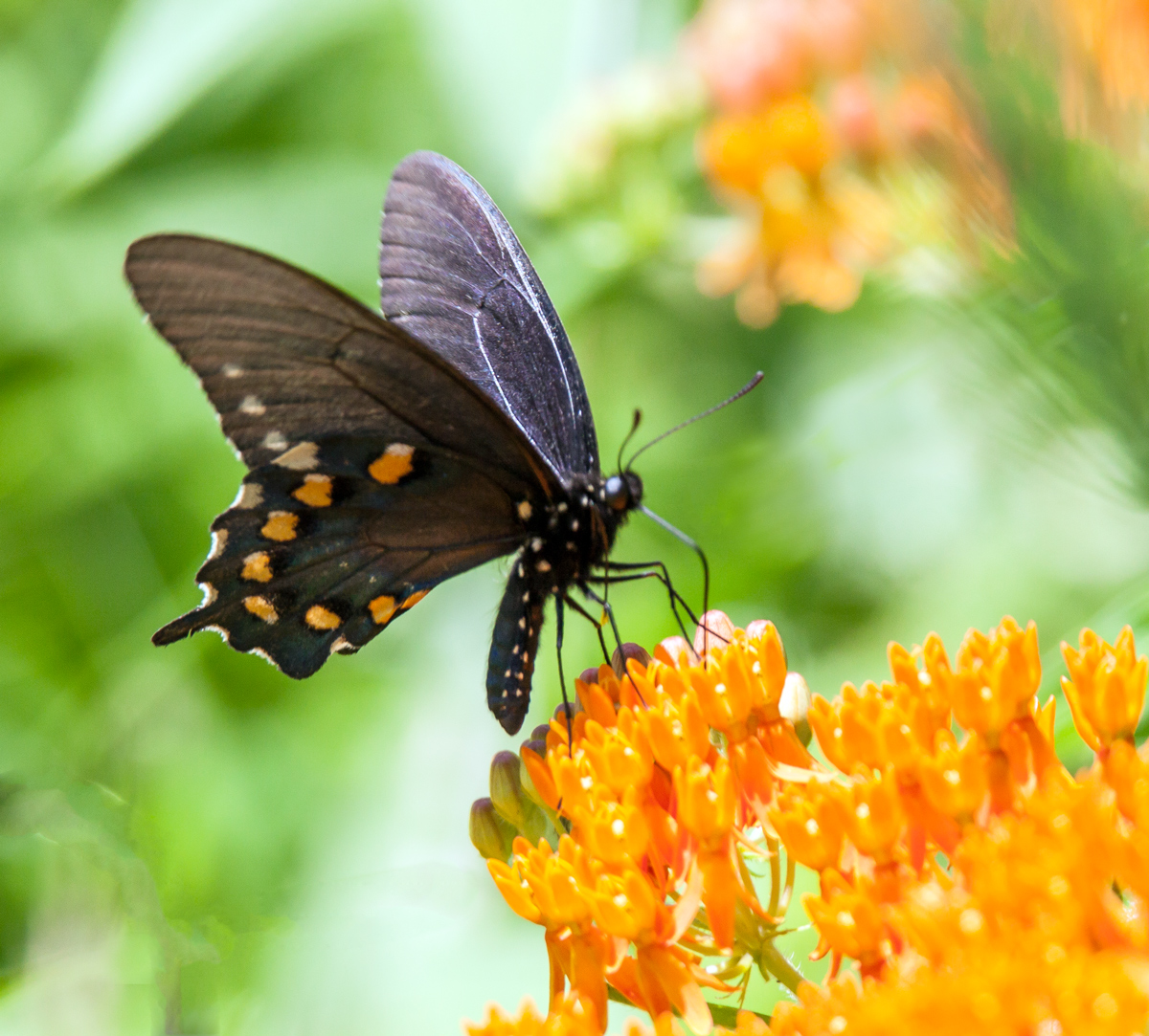 California Pipevine Swallowtail Butterfly: Identification ... |Pipevine Swallowtail Butterfly