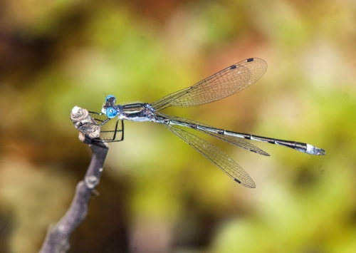 Southern Spreadwing damselfly