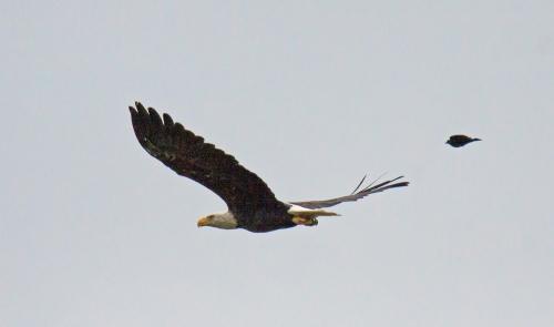 Bald Eagle chase