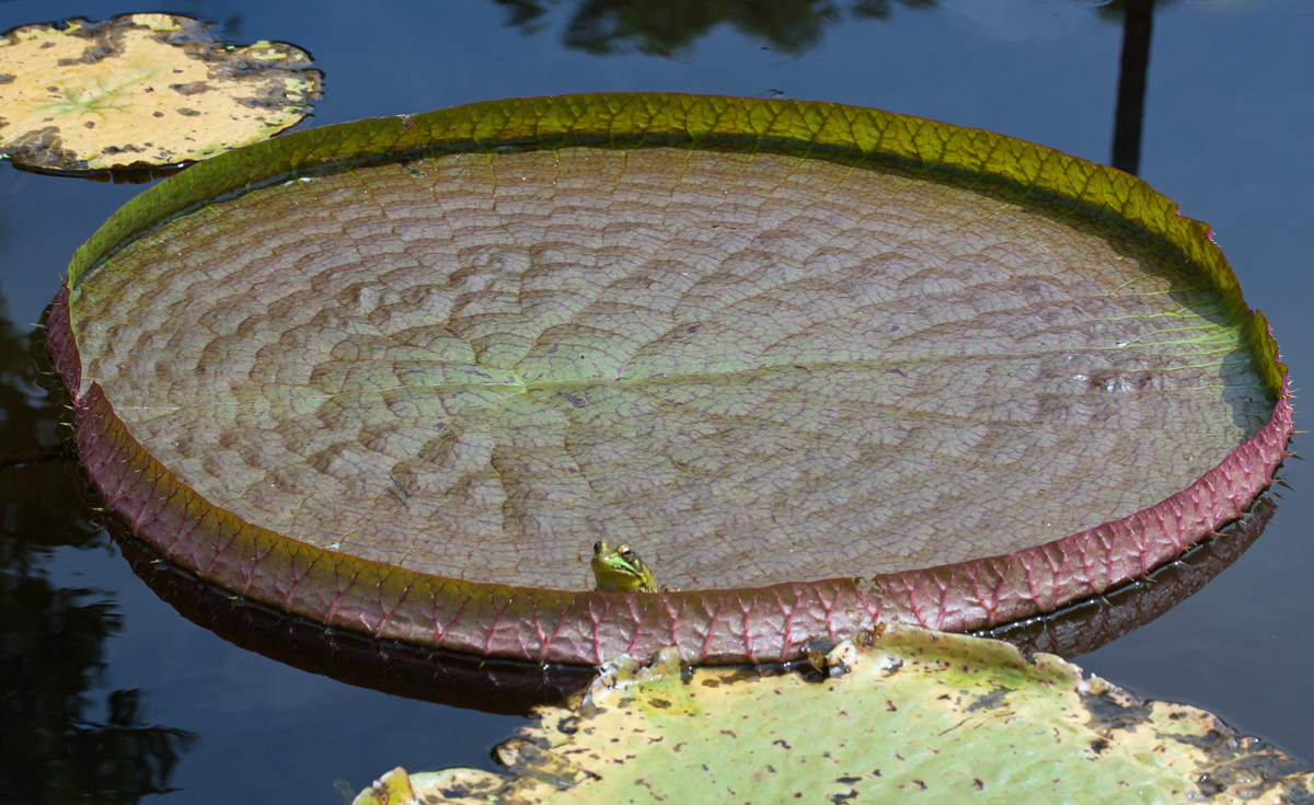 Lily Pad Mike Powell