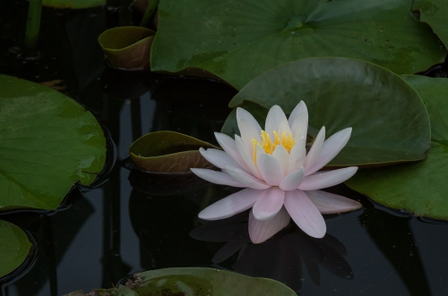 water lily at Kenilworth