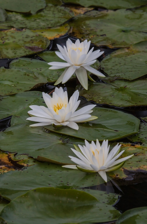 water lilies at Kenilworth