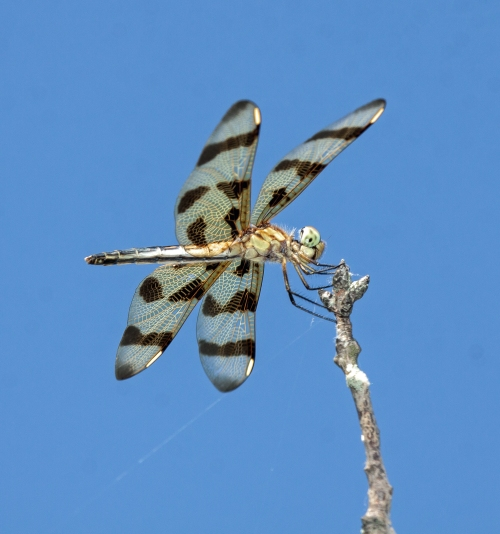Banded Pennant