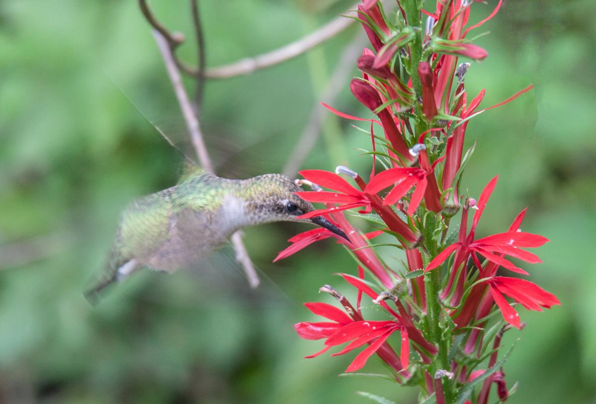 Hummingbird and cardinal flower