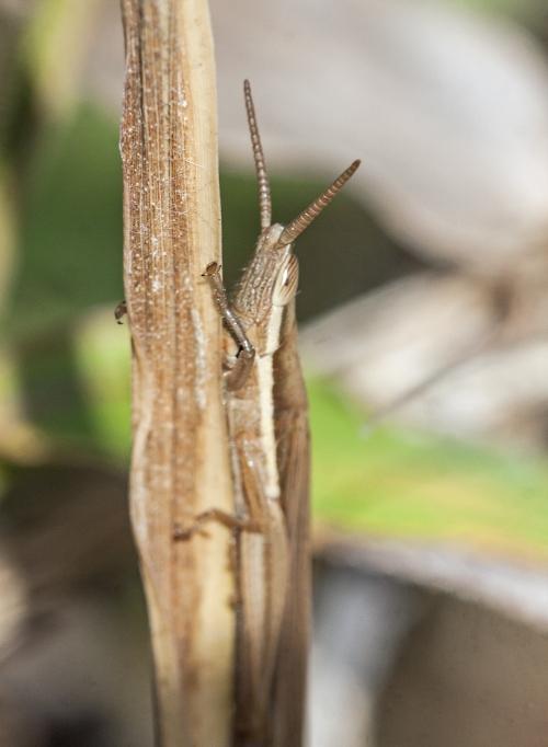 Dual-unicorn Grasshopper