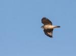 hawk4_crow_blog