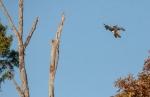 hawk5_crow_blog