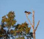 hawk6_crow_blog