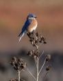 2. Bluebird at Dawn
