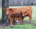 cows1_blog