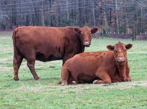 cows2_blog
