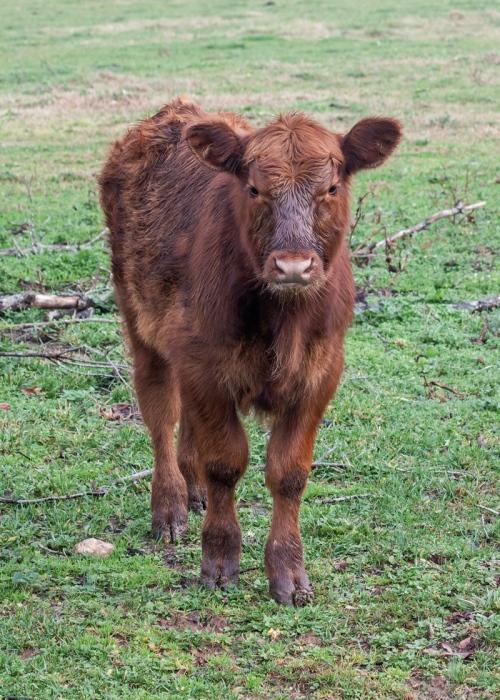 cows3_blog