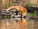 3. Fox at Water's Edge