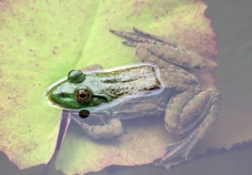 frog1_kenil_blog