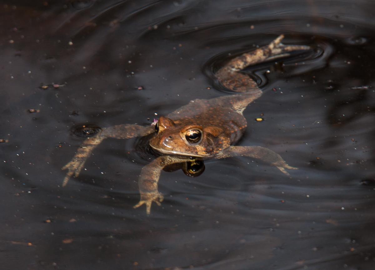 Q Significa Toad Anaxyrus americanus am...