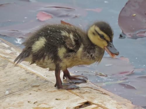 duckling in Vienna