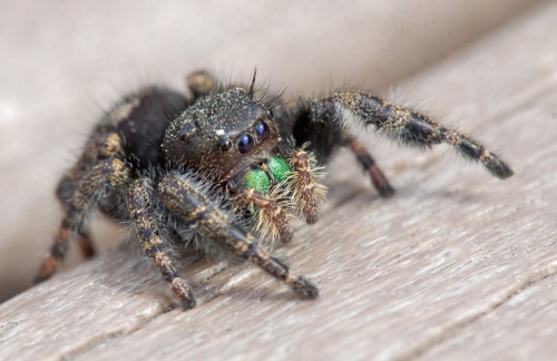 Bold Jumping Spider