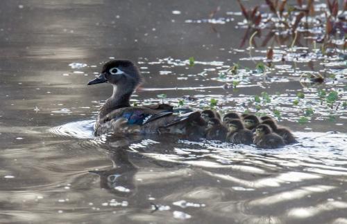 Wood Duck babies