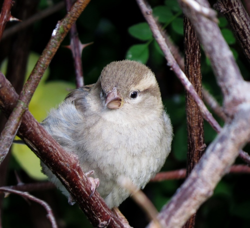 sparrow5_blog