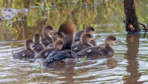 Hooded Merganser family
