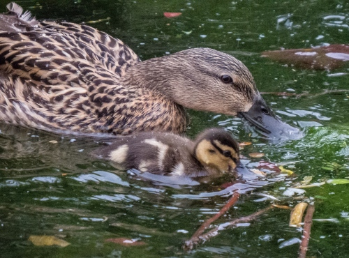 Mallard Mom and duckling