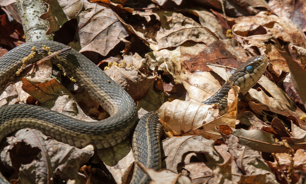 Walter William Sache: Blue-eyed Garter Snake