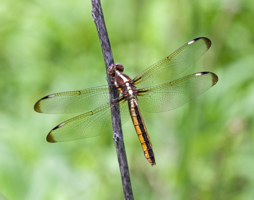 Spangled Skimmer dragonfly | Mike Powell - photo#35
