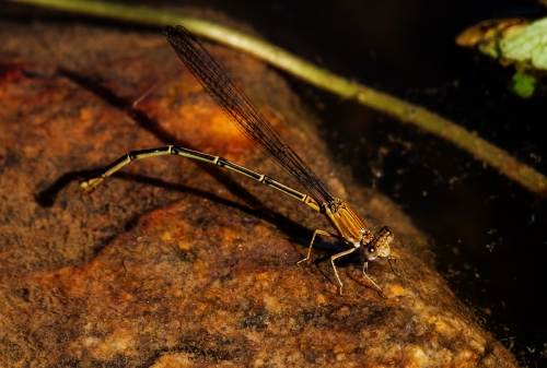 damselfly ovipositing