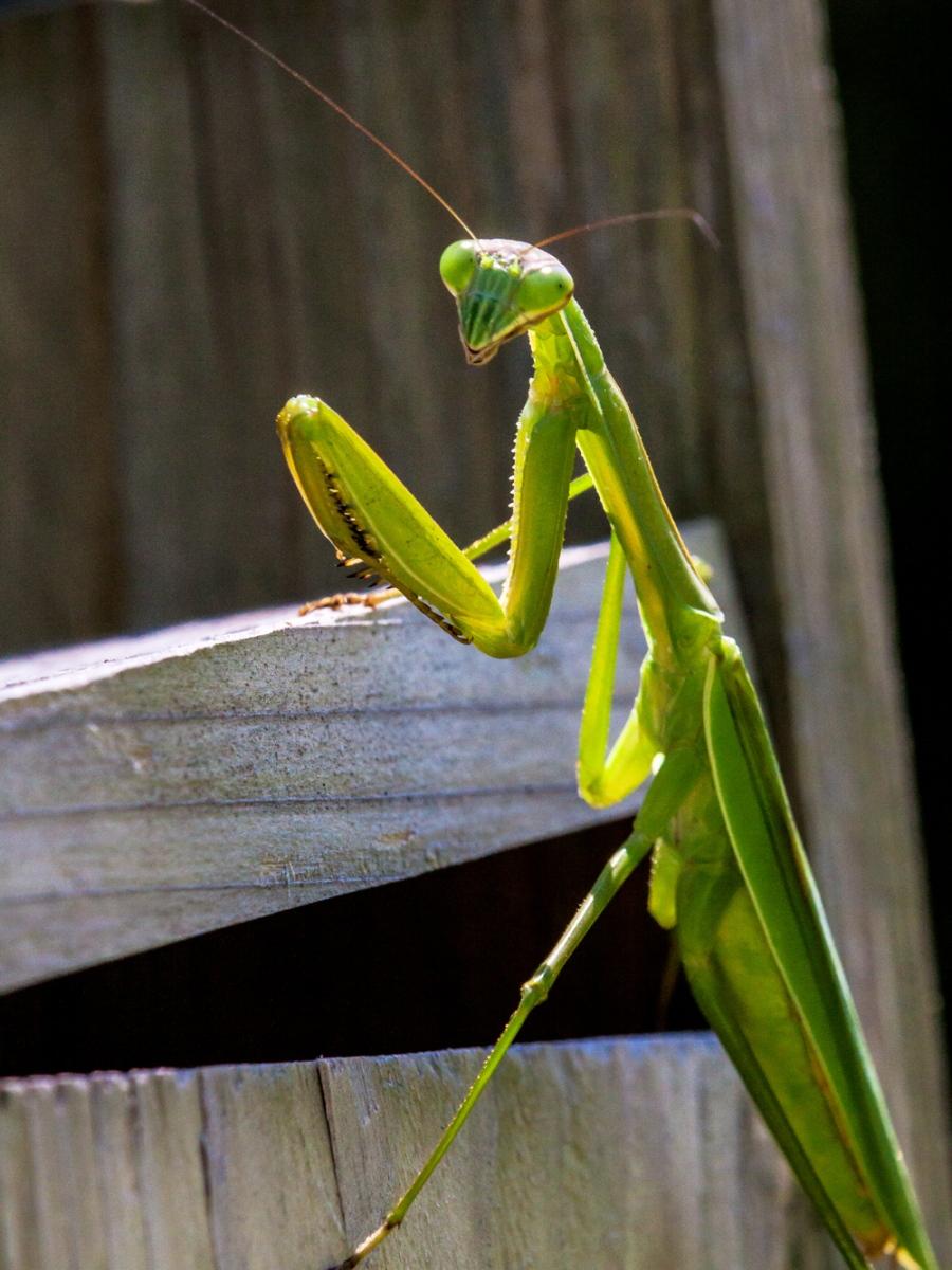 Praying Mantis | Mike Powell