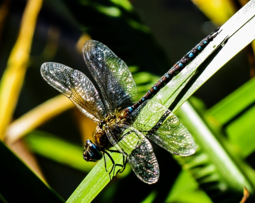 dragonfly in Brussels