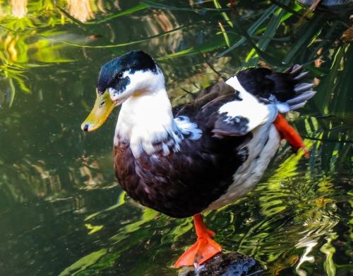 Duck in Brussels