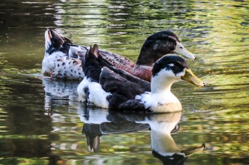 ducks in Brussels