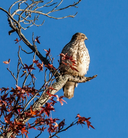 Res-shouldered Hawk