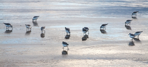 shorebirds at dawn